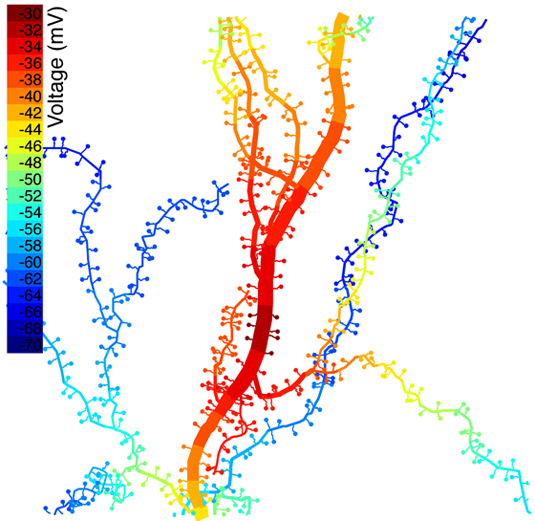 Computer simulation showing color-coded voltage (in millivolts) in a portion of a neuron's dendritic tree. Computer-generated spines have been attached to the dendrites, and synapses on seven spines near the center have been activated, raising the voltage at those locations. The simulation quantifies the spread of electric charge and the accompanying voltage rise in neighboring parts of the dendritic tree a short time (1-1/3 milliseconds) after the synapses have been activated.