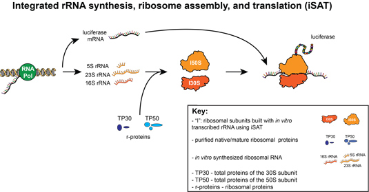 synthesise proteins