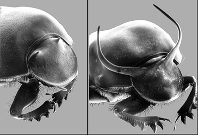 Two male taurus scarab beetles illustrate the subdued subgroup (left) and the showy subgroup (right). (Credit: Douglas Emlen, University of Montana)